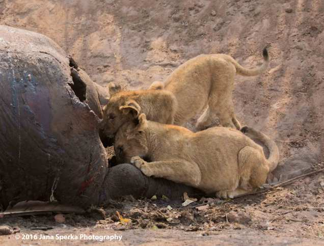 Lion-cubs-snack-timeweb