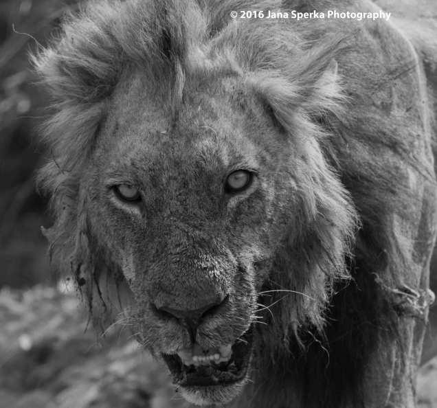 Lion-dirty-brother-B&Wweb
