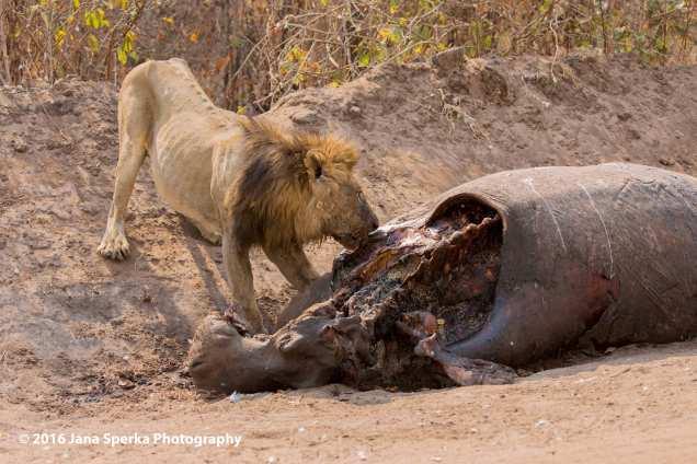 Lion-dirty-brother-skinny-eatingweb