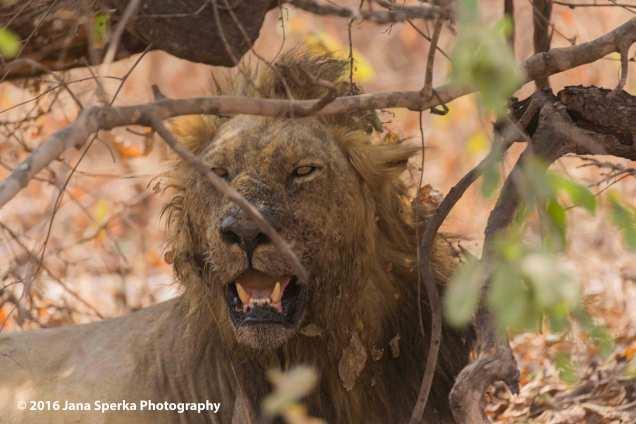 Lion-dirty-brotherweb