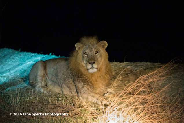 Lion-in-the-night_1web