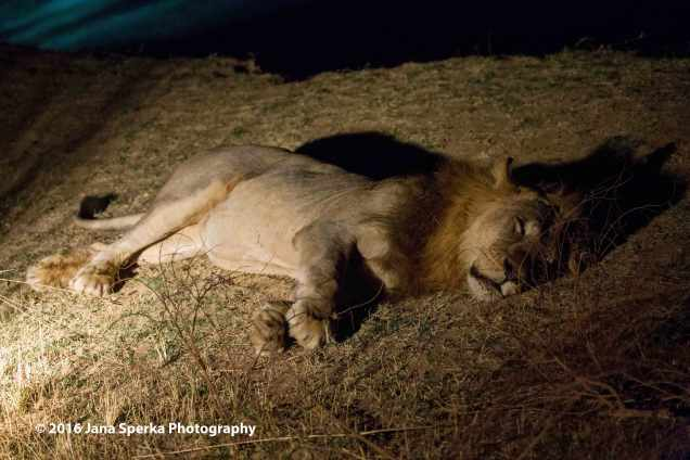Lion-in-the-night_2web