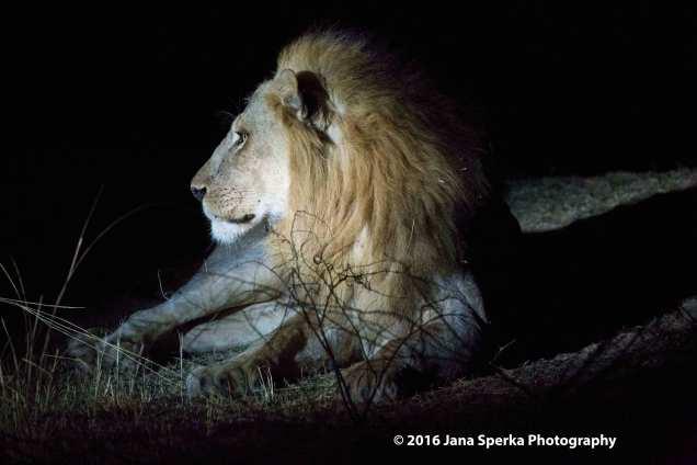 Lion-in-the-nightweb