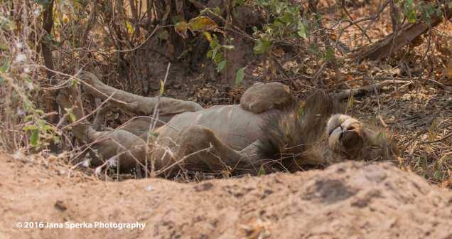 Lion-sleepy-kittyweb