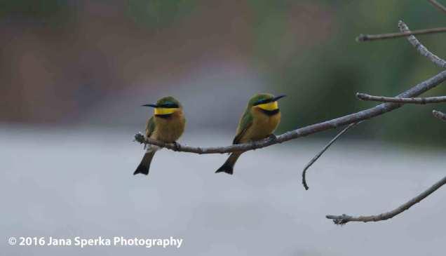 Little-Bee-Eatersweb