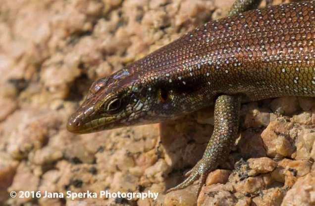 Lizard_1web