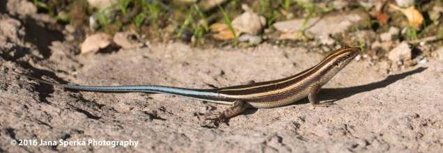 Lizard_2web