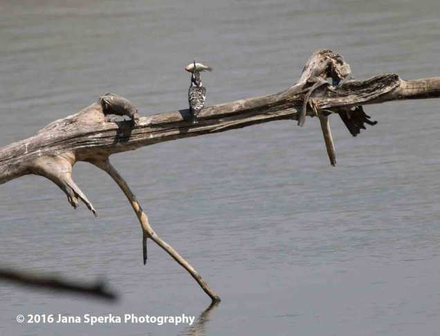 Pied-Kingfisher---eyes-too-big-for-stomachweb