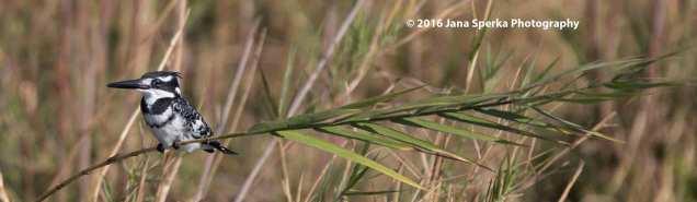 Pied-Kingfisher_1web