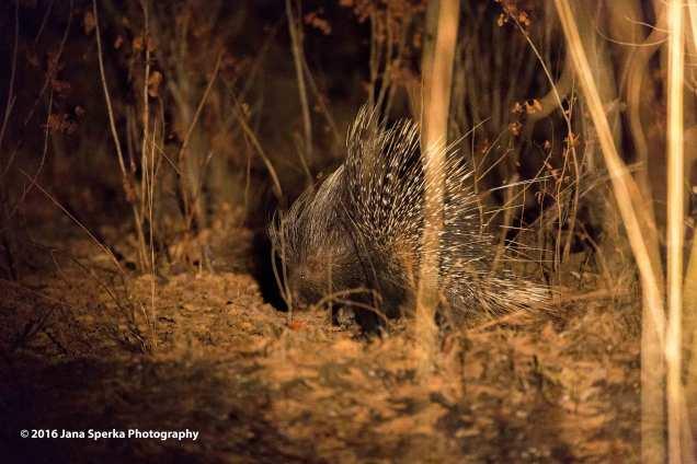 Porcupineweb