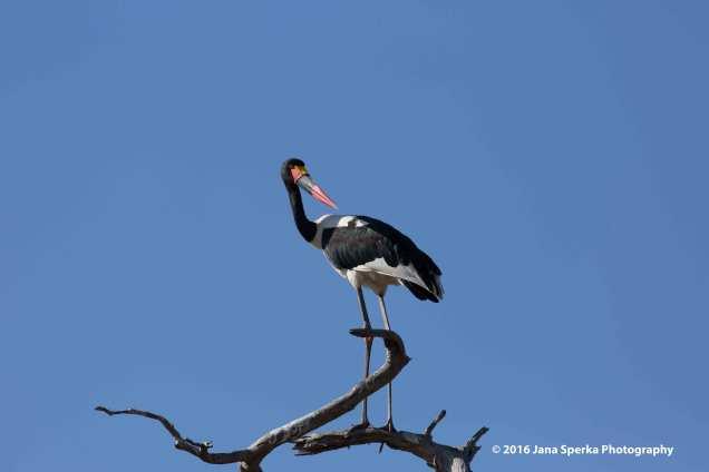 Saddle-billed-storkweb