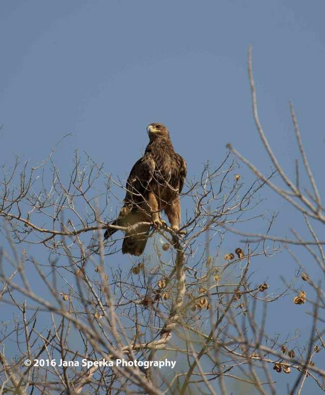 Tawny-Eagle_1web