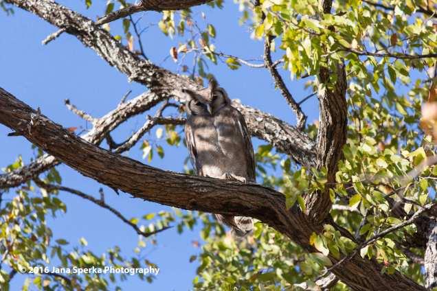 Verreaux's-Giant-Eagle-Owlweb