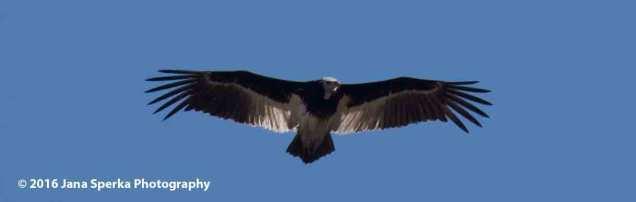 White-headed-Vulture_1web