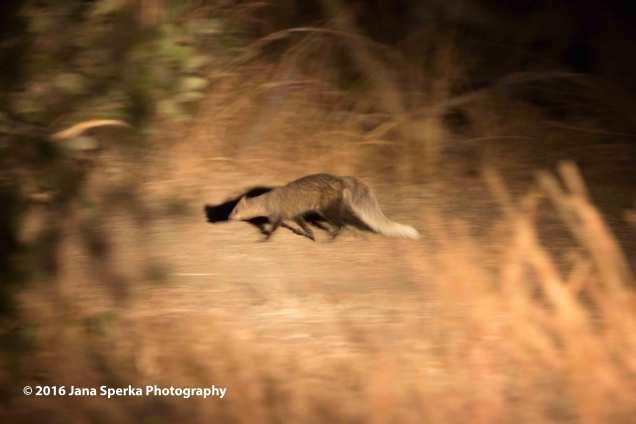 White-tailed-mongooseweb