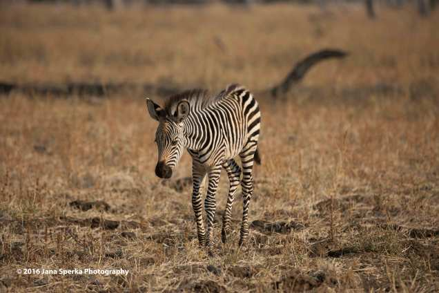 Zebra_1web