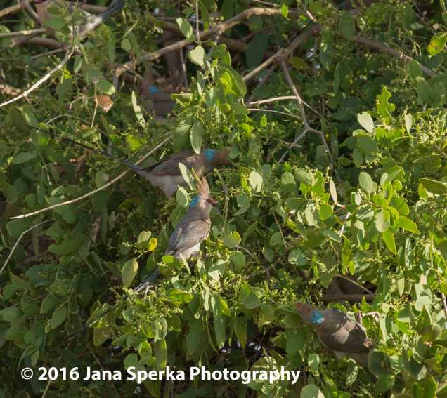 Blue-Napped mousebirds and they make a mouse noise when they chirp.