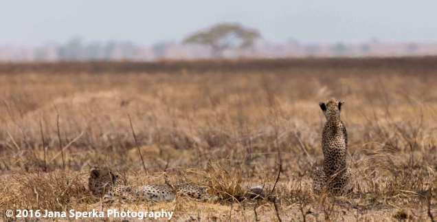 cheetah-brothers_1web