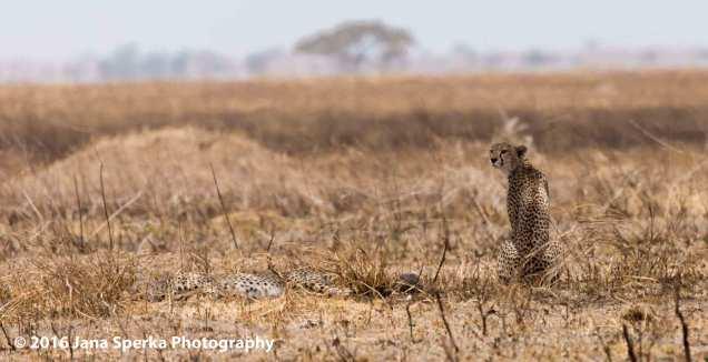 cheetah-brothers_2web