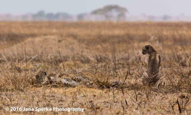 cheetah-brothers_3web
