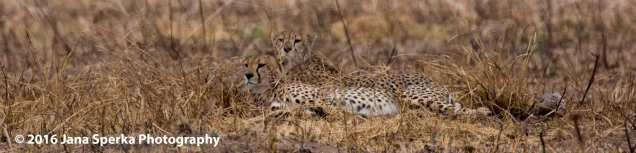 cheetah-brothers_4web