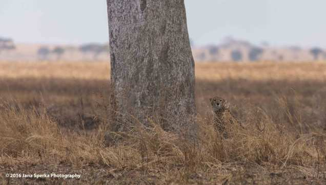 cheetah-brothers_5web