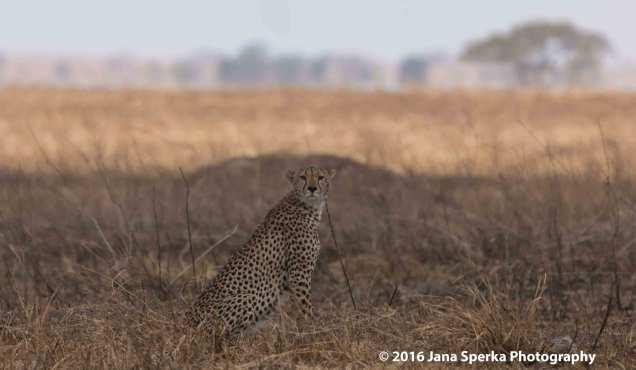cheetah-brothers_6web