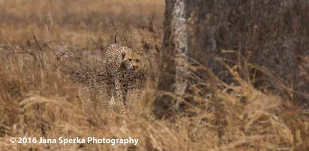 cheetah-brothers_7web