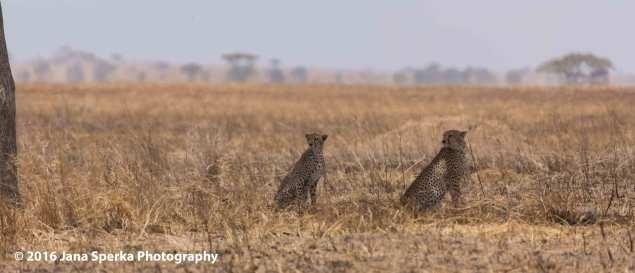 cheetah-brothers_8web