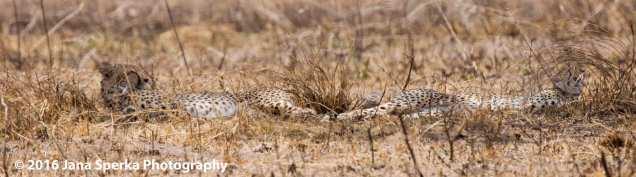 cheetah-brothersweb