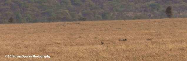 cheetah-kill_2web