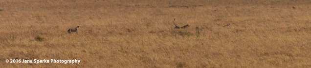 cheetah-kill_3web