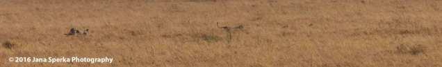 cheetah-kill_4web