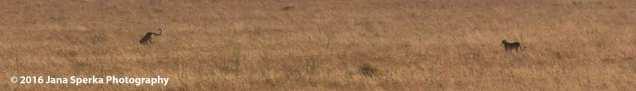 cheetah-kill_6web