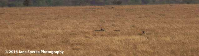 cheetah-killweb