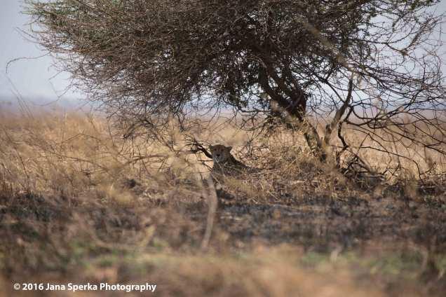 cheetah_2web