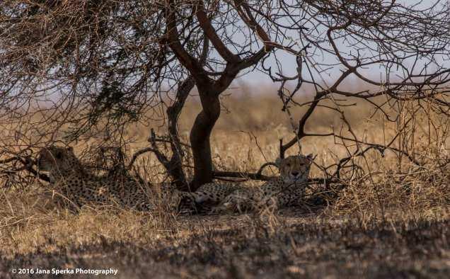 cheetah_3web
