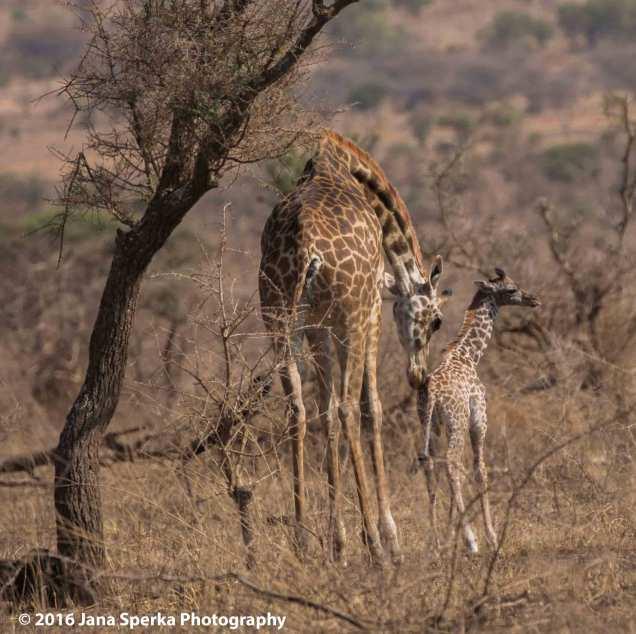 giraffe_1web