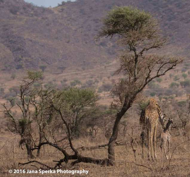 giraffeweb