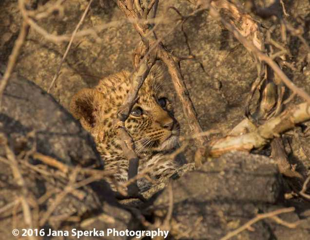 leopard-cub_1web