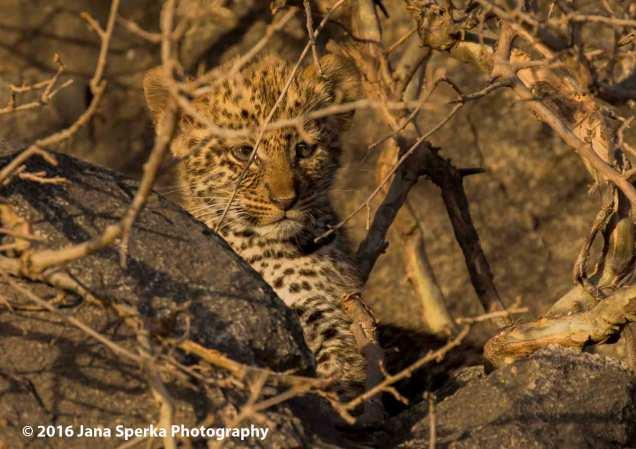 leopard-cub_3web