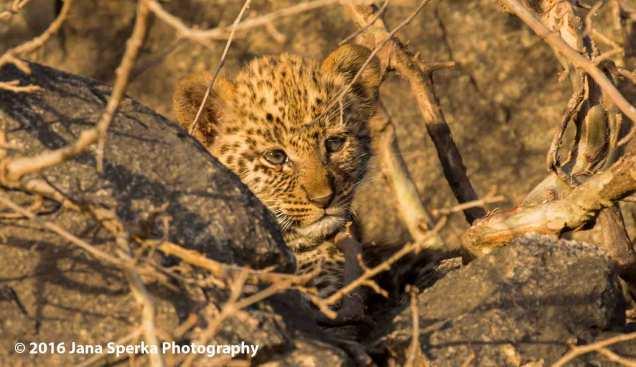 leopard-cub_4web