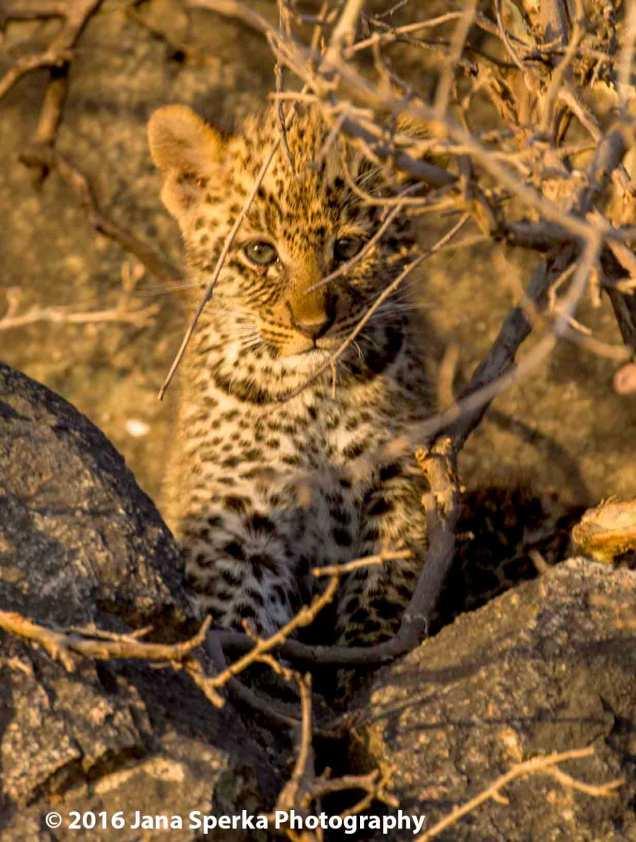 leopard-cub_5web