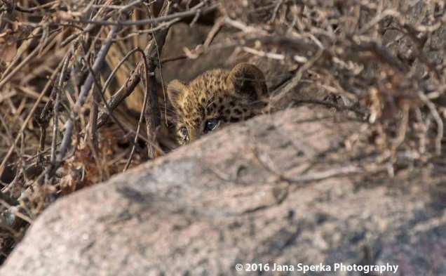 leopard-cubweb