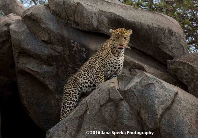 leopard_5web