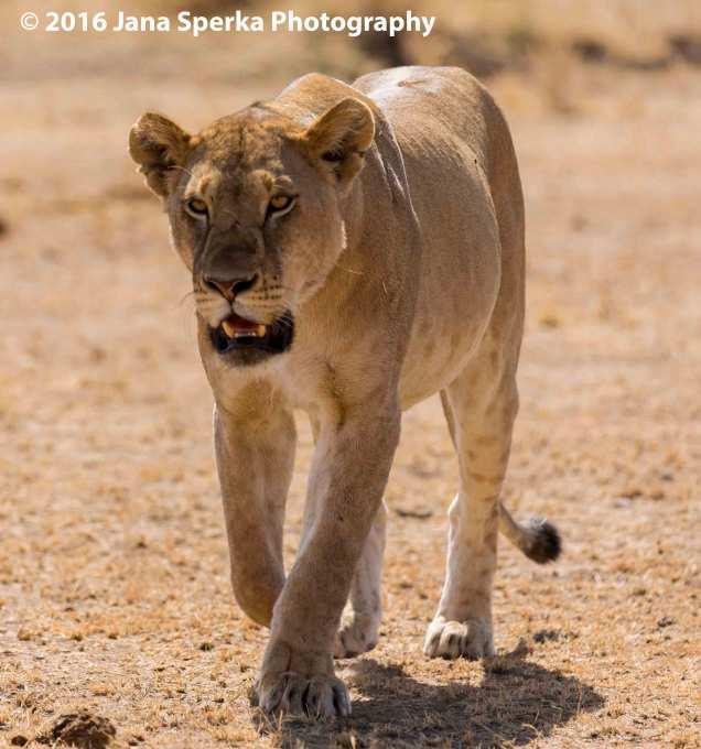 lion-too-darn-hot_1web