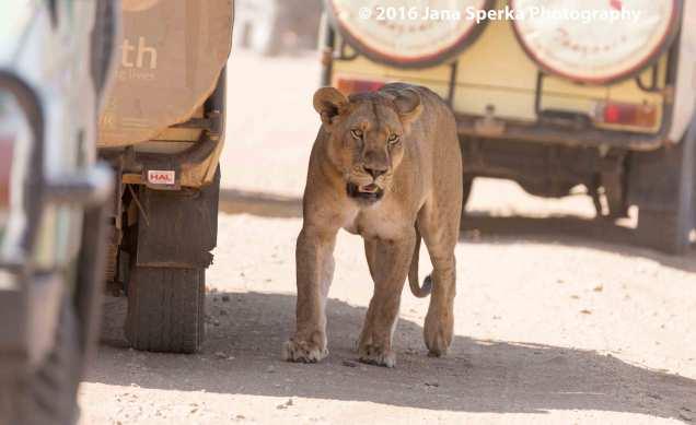 lion-too-darn-hotweb