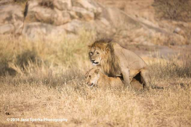 lions-mating-not-so-happyweb