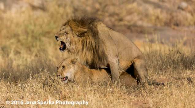 lions-mating_1web