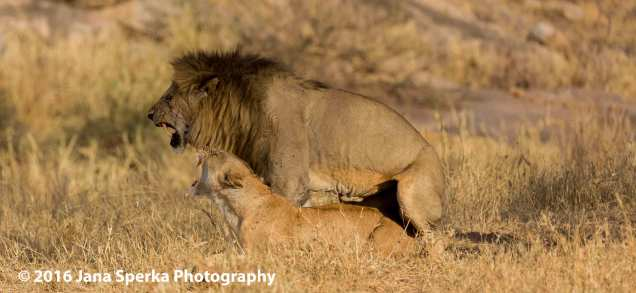 lions-mating_2web